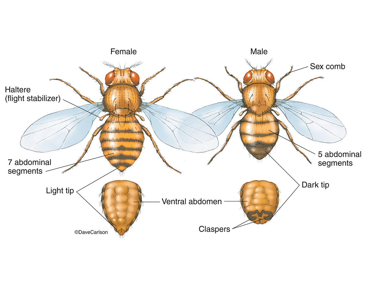 Illustration, male fruit fly, female fruit fly, drosophila, photo