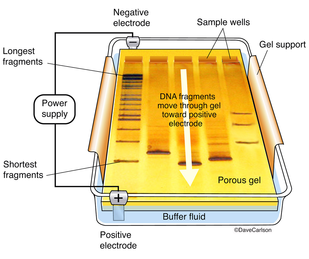 diagram, laboratory method, separate fragments of DNA, RNA, or proteins according to size, molecules are pushed by an electrical charge through a sieve-like porous gel, photo