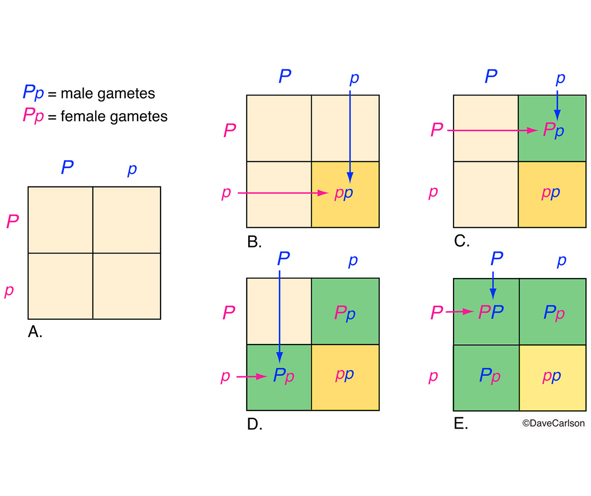genetics, punnett square, diagram used to predict probability of an offspring having a particular genotype, photo