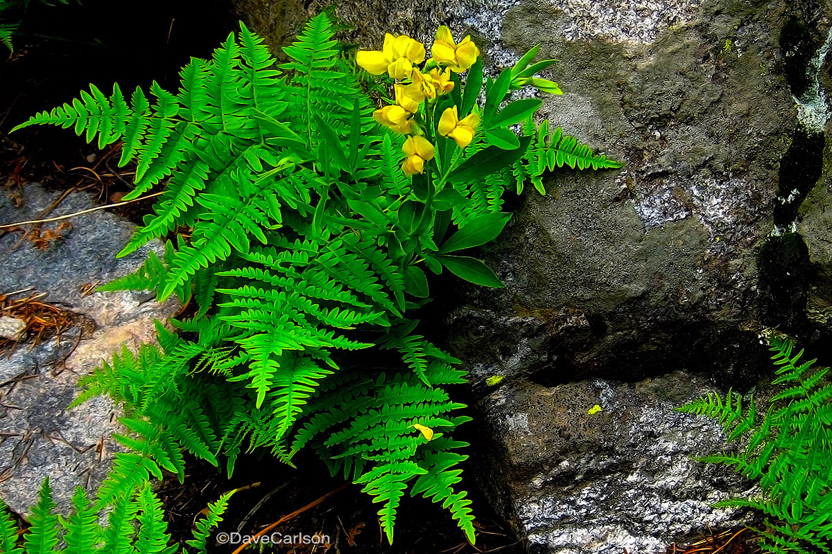 Golden Banner, wildflower, Bracken Fern, Fern Lake Trail, Rocky Mountain National Park, photo