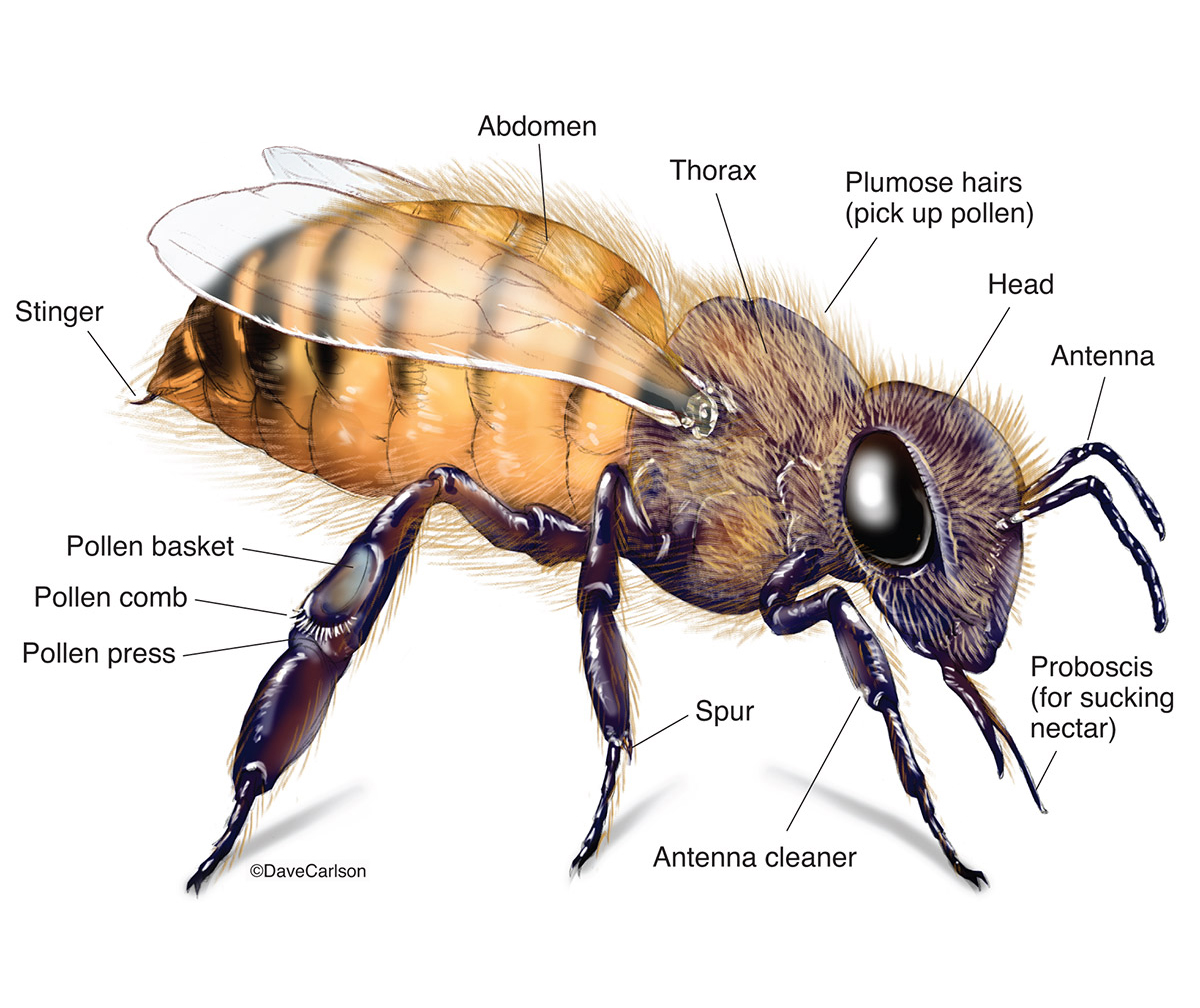 Illustration, external structure, honeybee, genus, apis, photo