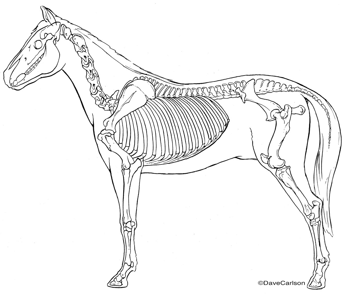 B&W line illustration, lateral view, horse skeleton, photo