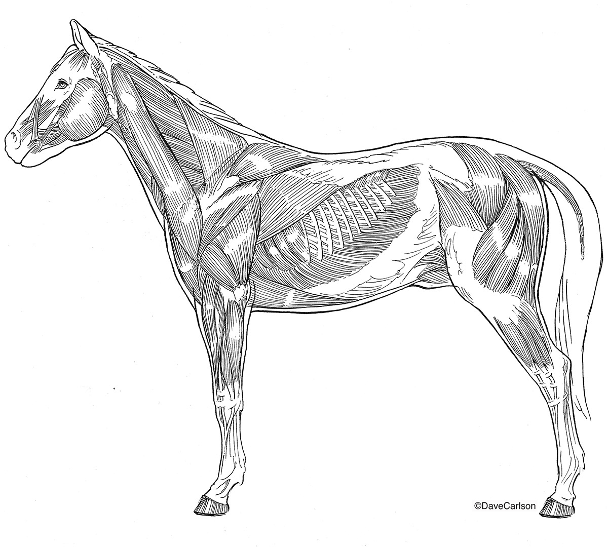 Illustration, lateral view, superficial, horse, equine, musculature, muscles, photo