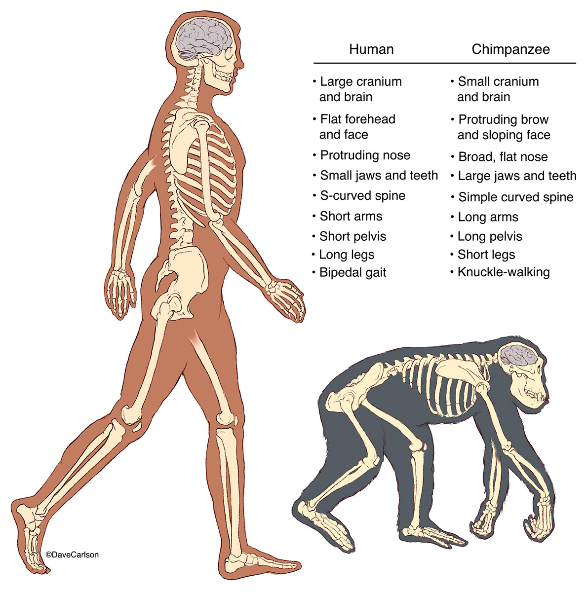Illustration comparing human and chimp skeletal structure and posture.