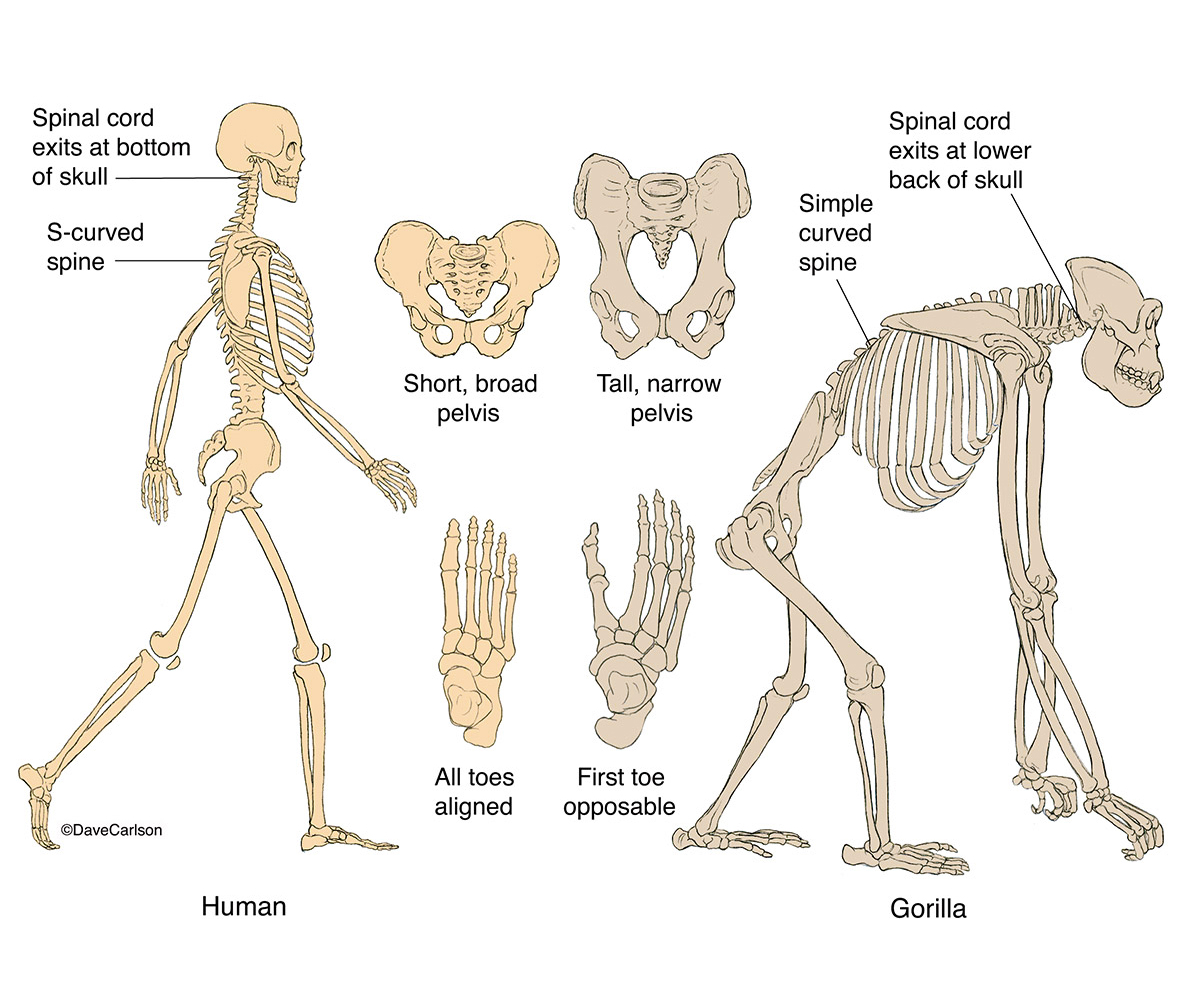 Illustration, human, gorilla, skeletal structure, posture, skeletons, photo