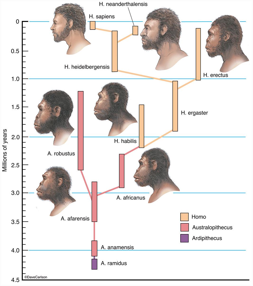 Illustration, evolutionary timeline of Homo sapiens, human family tree, photo