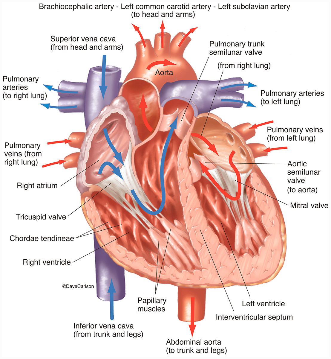 human, heart, interior, coronal section, arterial, venous, blood flow, front view, illustration, photo