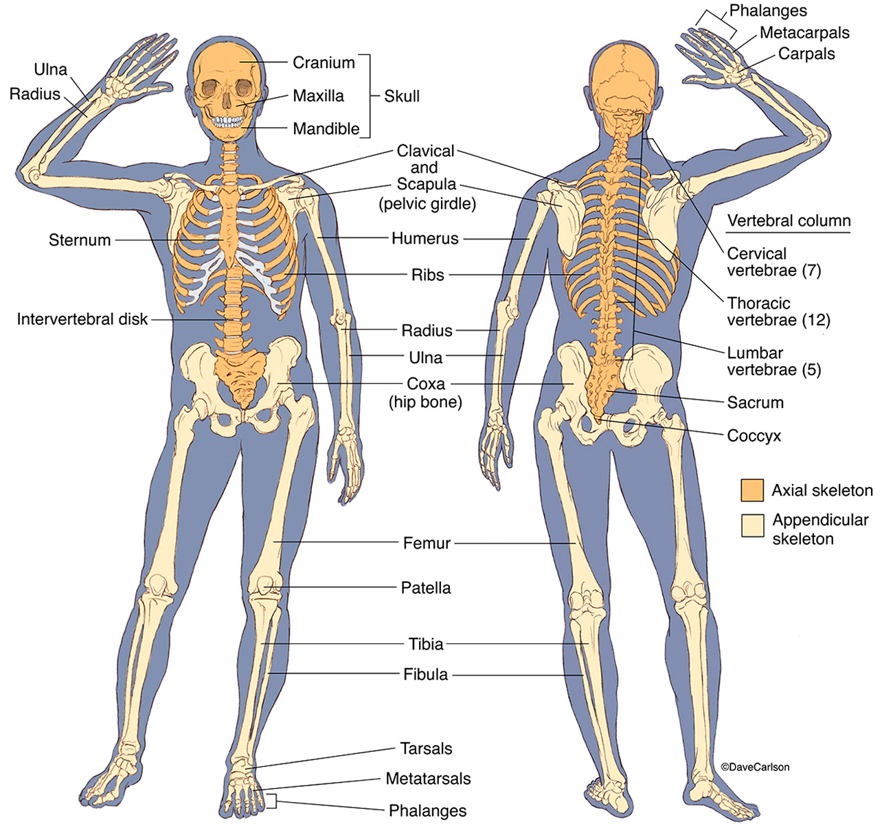 illustration, anterior, posterior views, human skeleton, skeletal, structure, photo