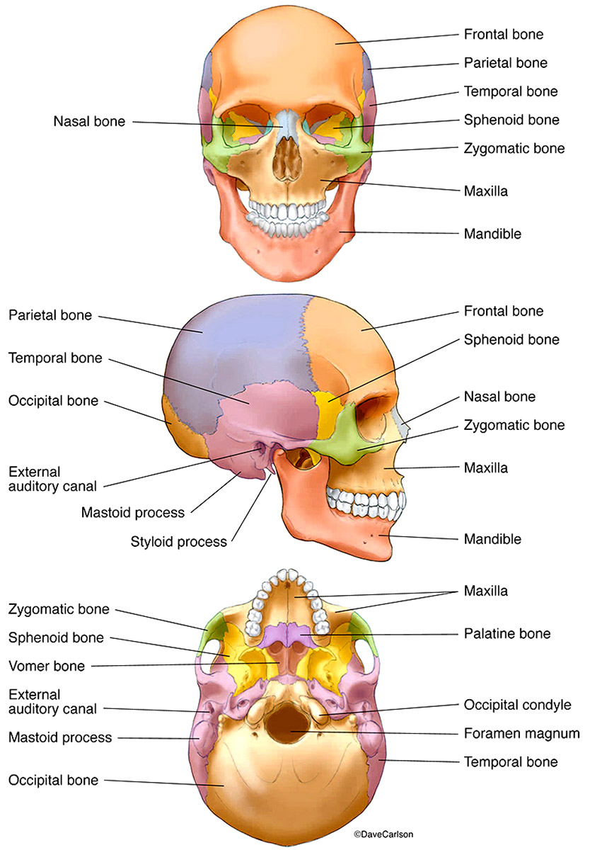 illustration, human skull, labeled and color-coded bones, photo