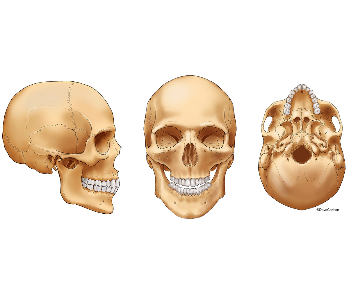 illustration, three views, human skull, lateral, anterior, inferior, photo