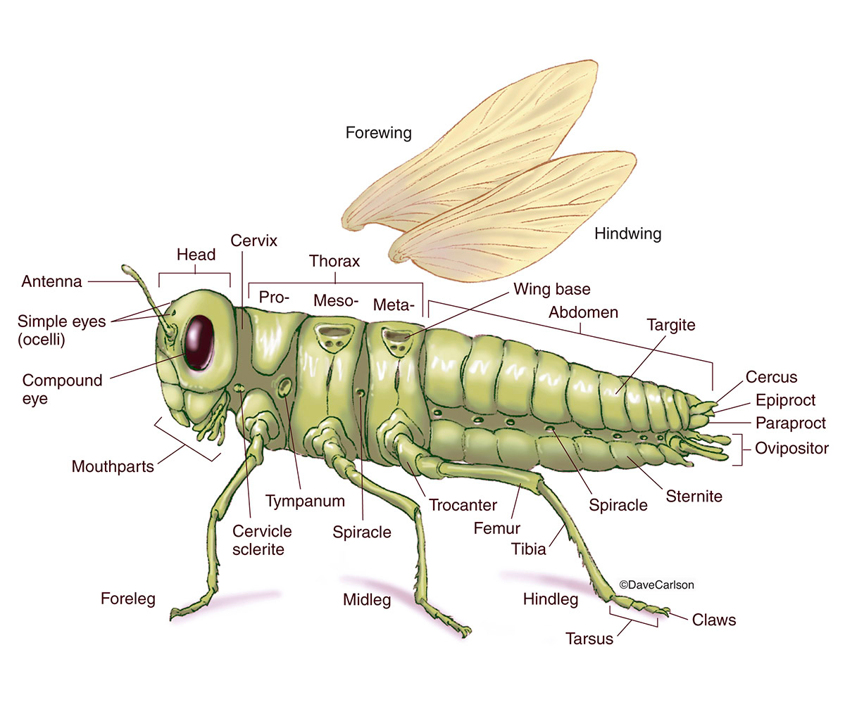 Generalized Insect External Anatomy Carlson Stock Art