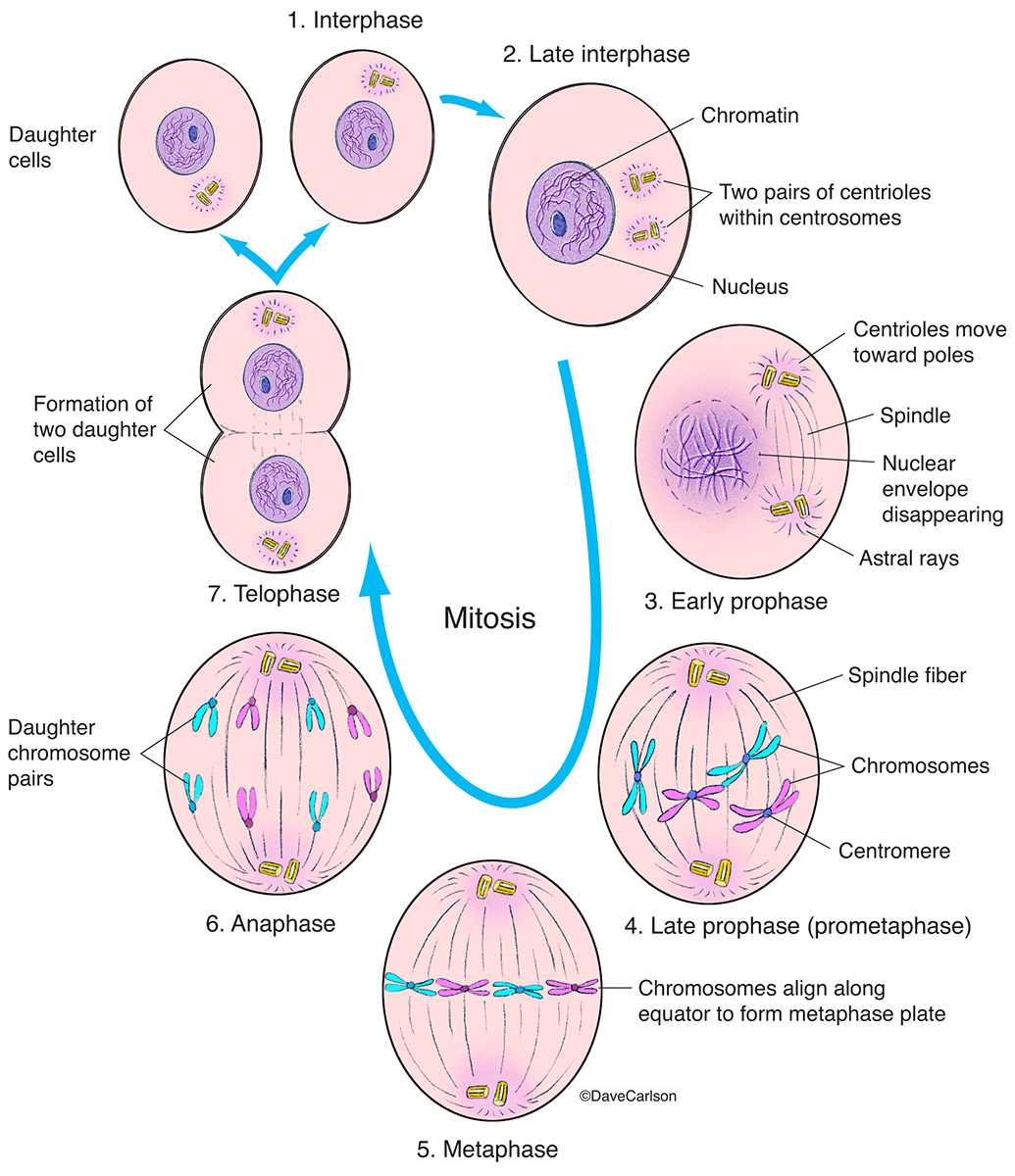 interphase,  premitosis stage, asexual reproduction, cell, cellular, DNA, mitosis, photo