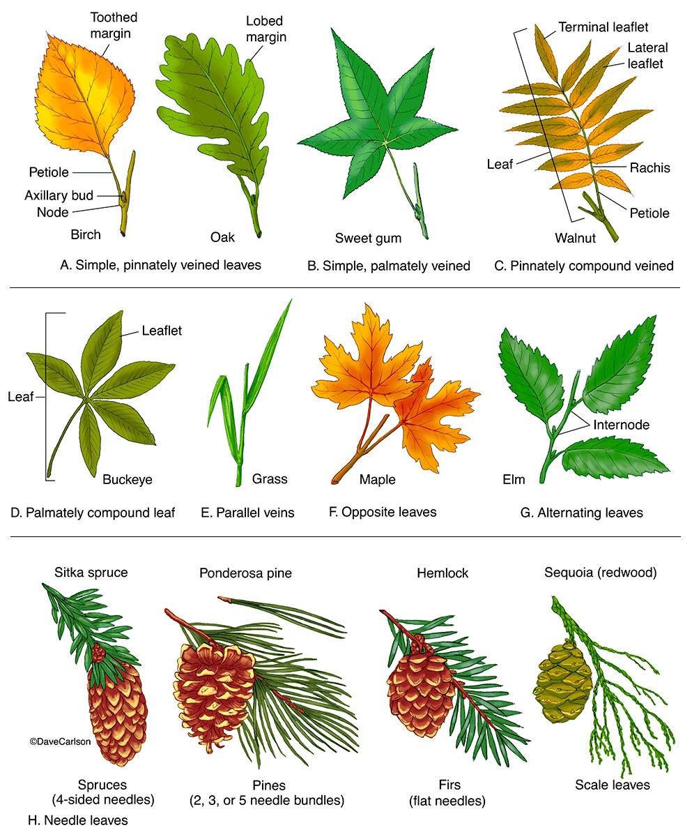 illustration, types of leaves, leaf morphology, leaf forms, leaf types, photo