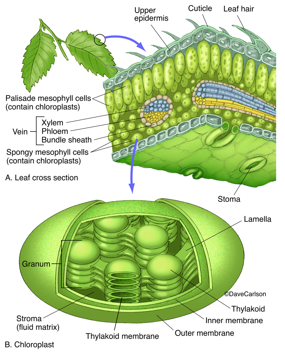 Illustration of general leaf structure and a chloroplast, which is a photosynthetic organelle, or plastid, found in green plant...