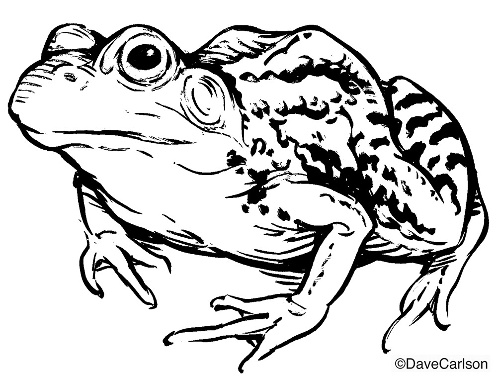 B&W, ink, drawing, illustration,  leopard frog, photo