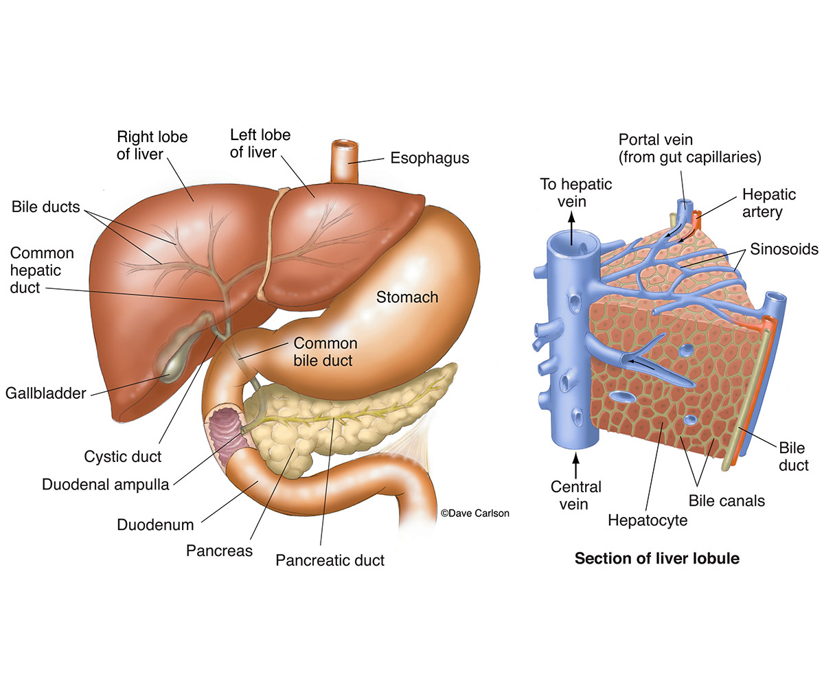 liver anatomy, illustration, liver, gallbladder, bile ducts, associated organs, photo