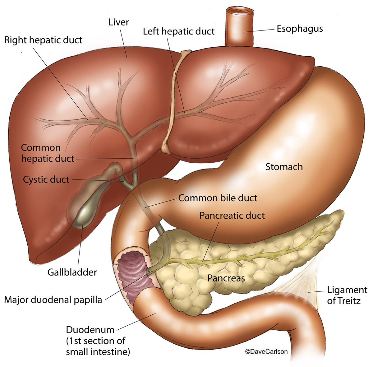 Illustration, anatomic relationship, liver, stomach, pancreas, gallbladder, duodenum, photo