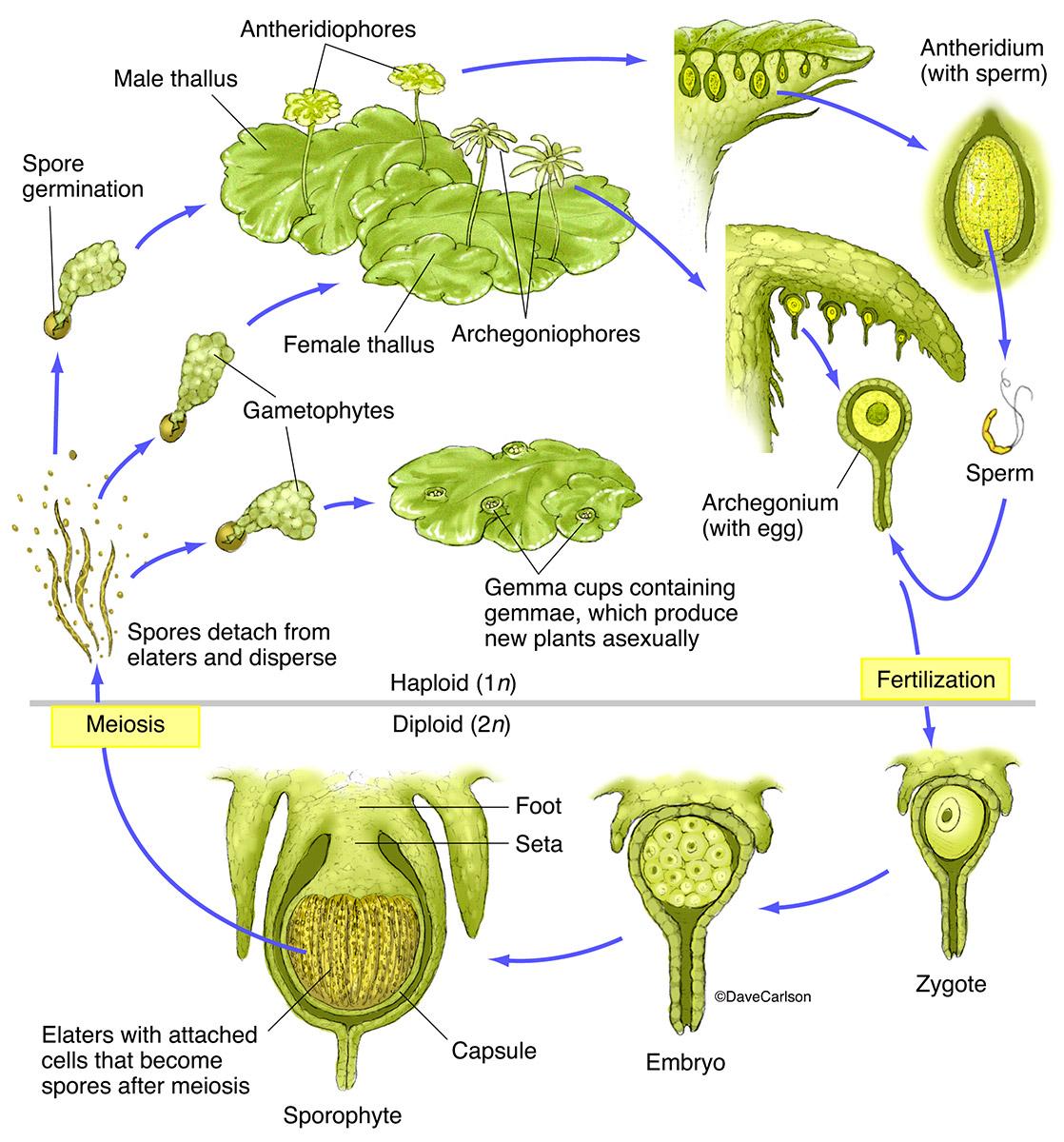 illustration, bryophyte, liverwort, life cycle, photo