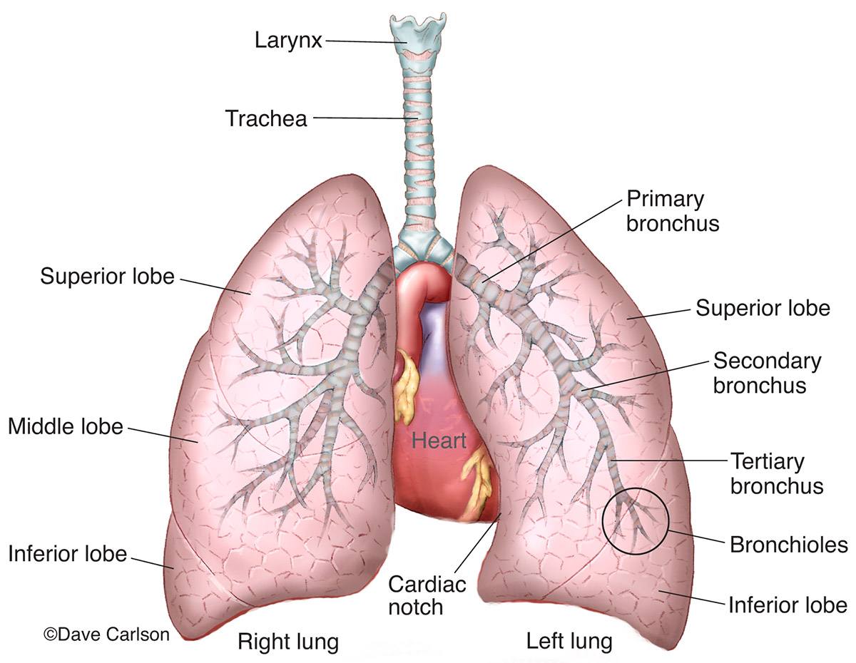 illustration, lungs and associated structures, lungs, trachea, bronchi, photo
