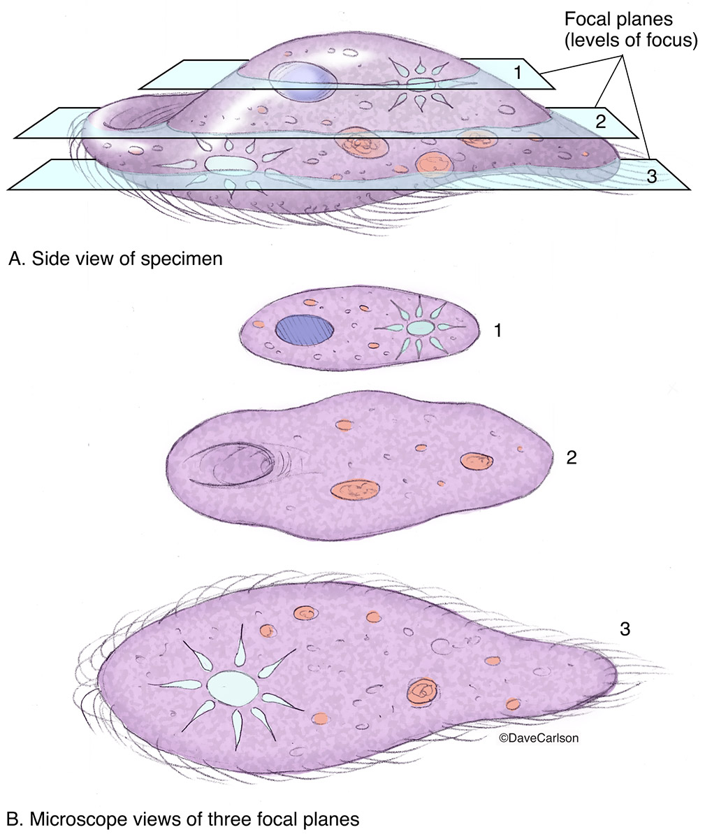 illustration, microscope focal planes, different levels of focus, different parts of a specimen, photo