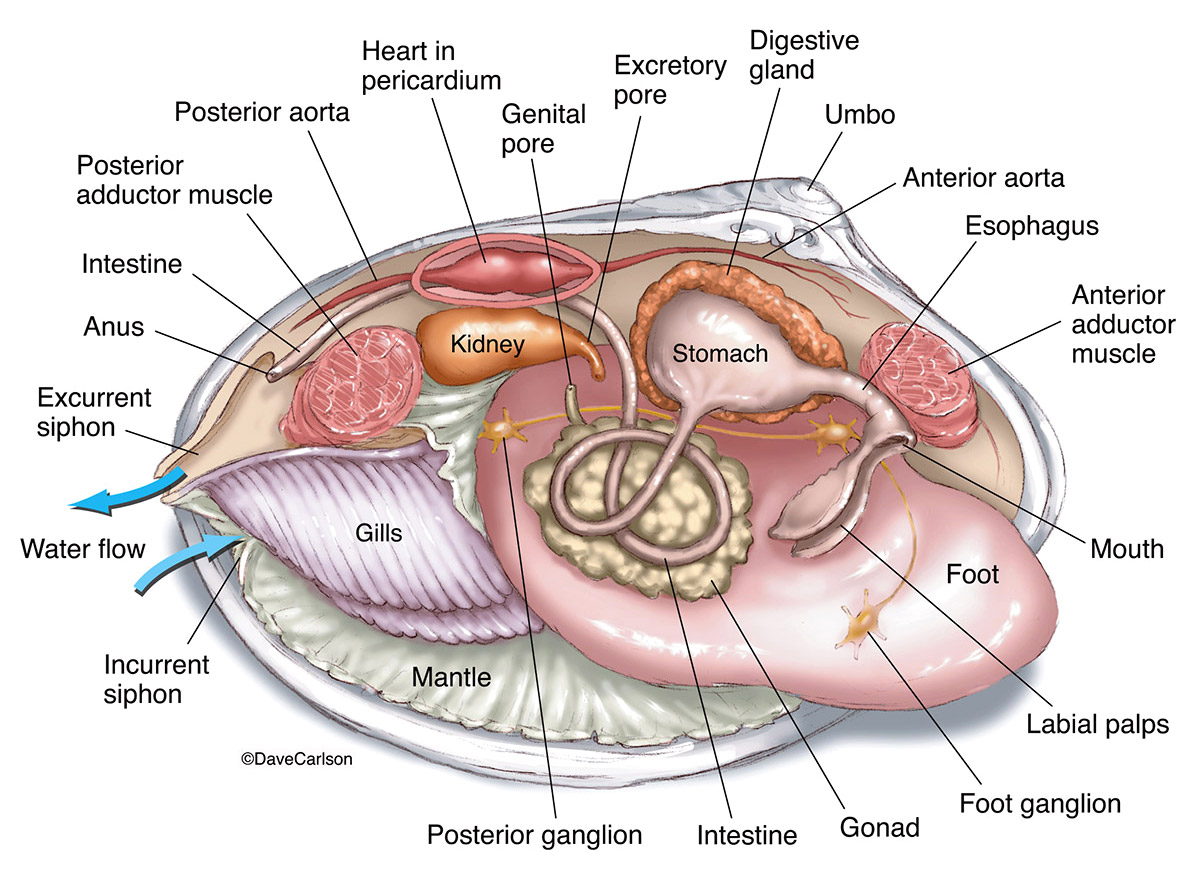 illustration, anatomy, structure, mollusk, clam, photo