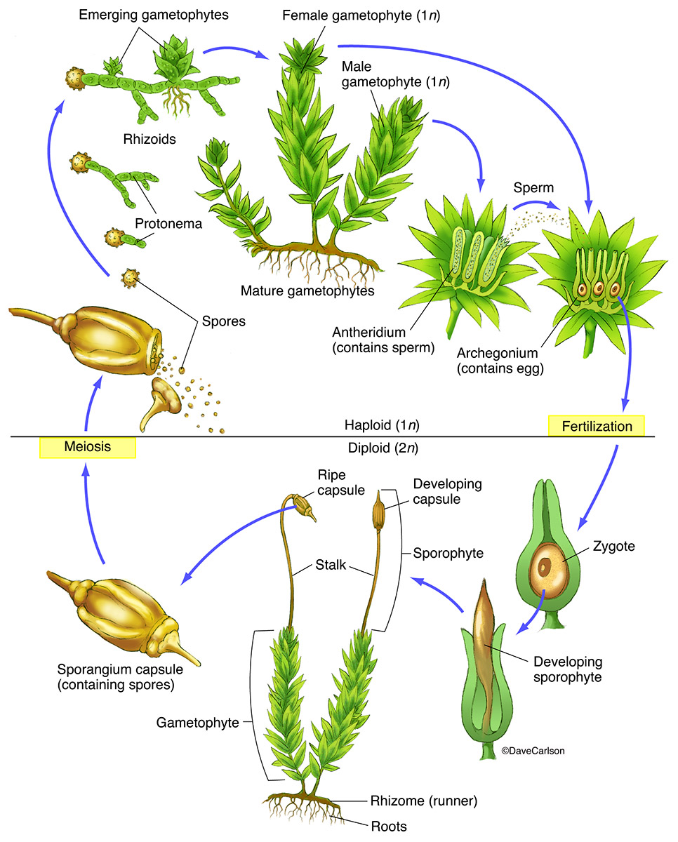 illustration, moss bryophyte life cycle, photo