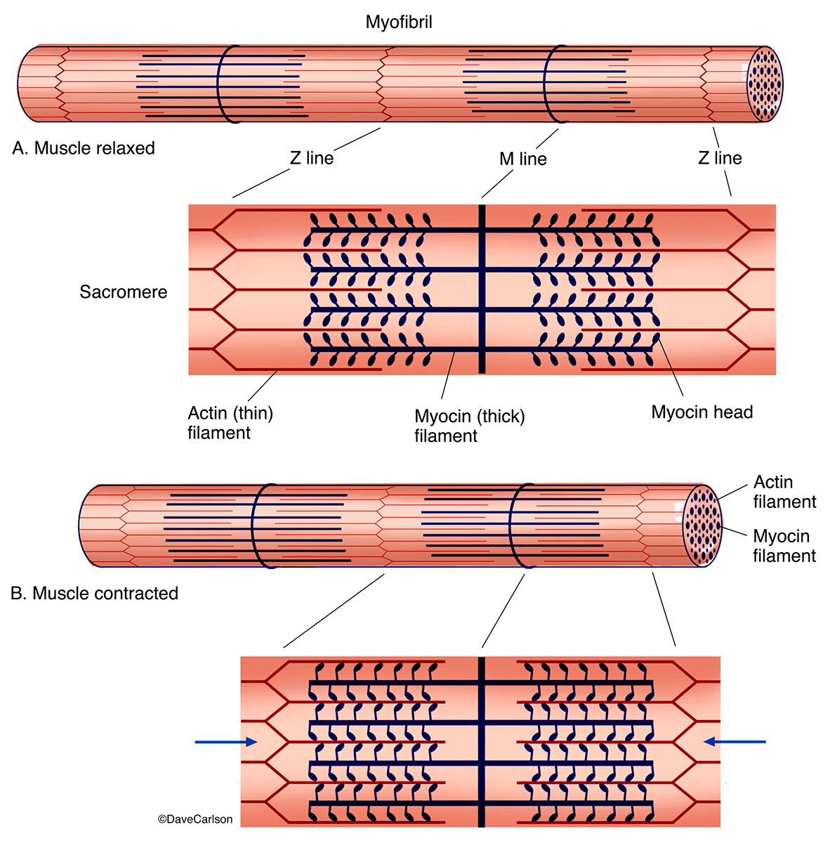 illustration, physiology of muscle contraction, photo