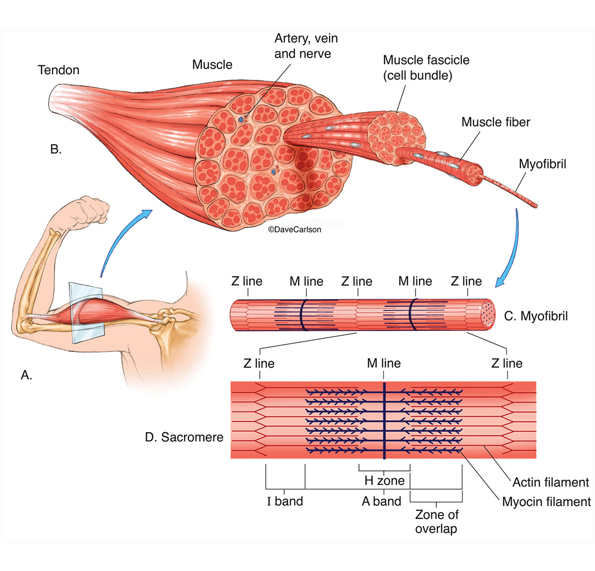 Illustration, macro and micro structure of a muscle, photo
