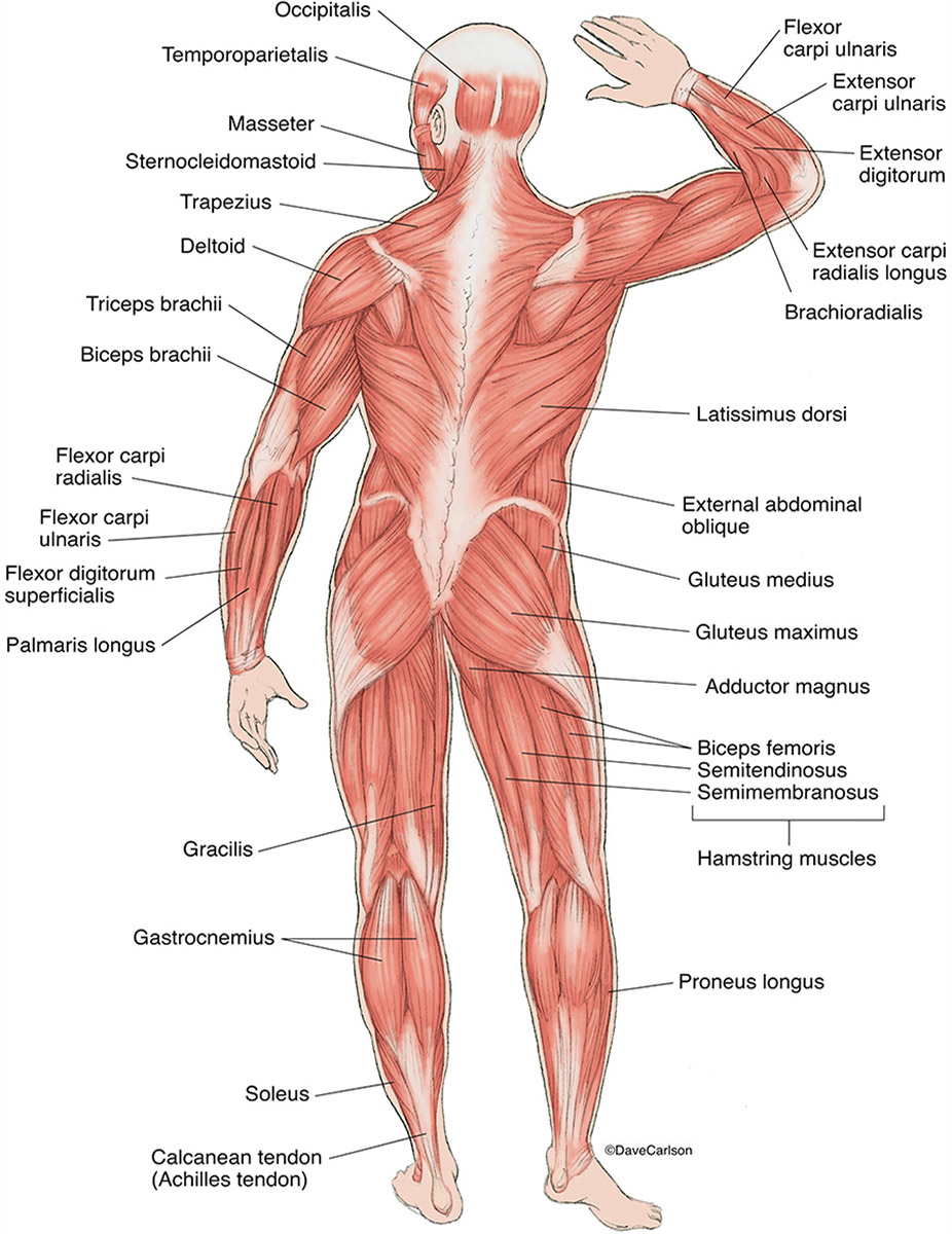 illustration, posterior superficial muscles, human body, back view, photo