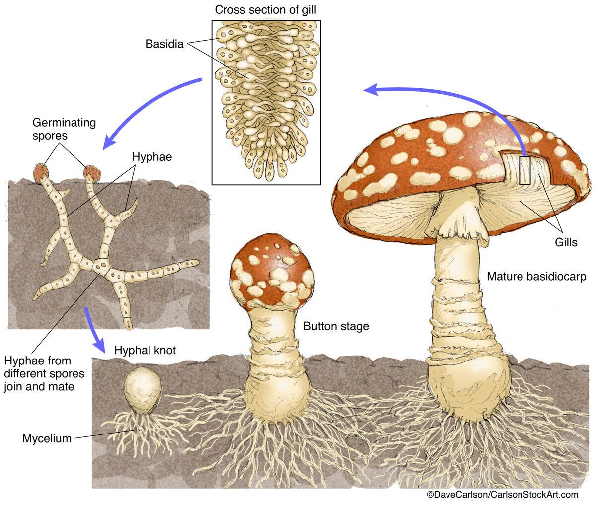 illustration, structure, life cycle, mushroom, fungus, photo