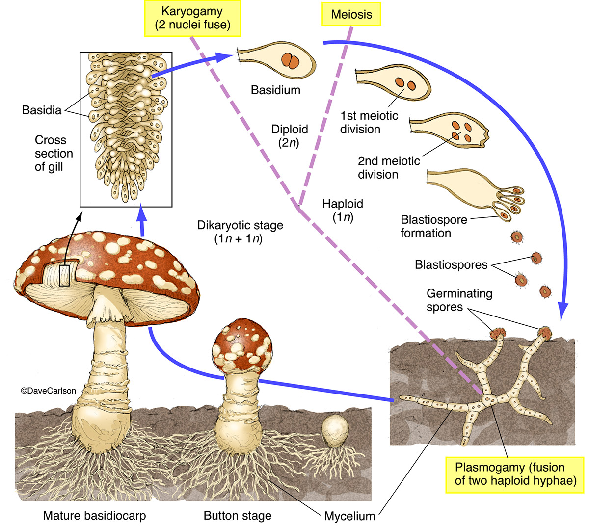 illustration, structure, life cycle, mushroom, fungus, photo