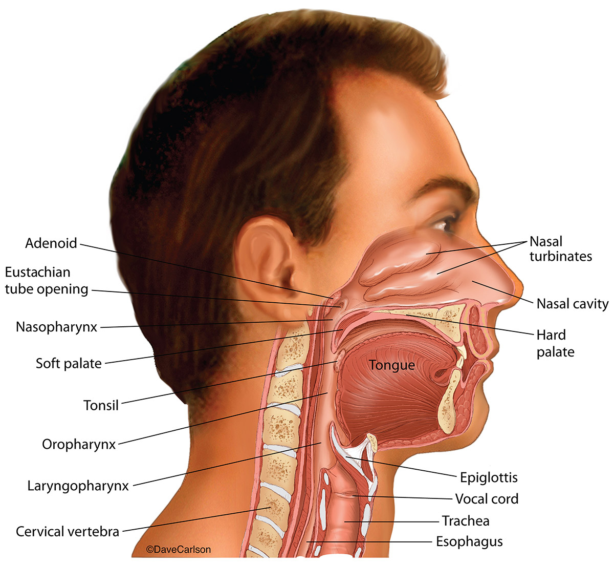 illustration, nasal cavities, oral cavities,  laryngeal cavities, photo