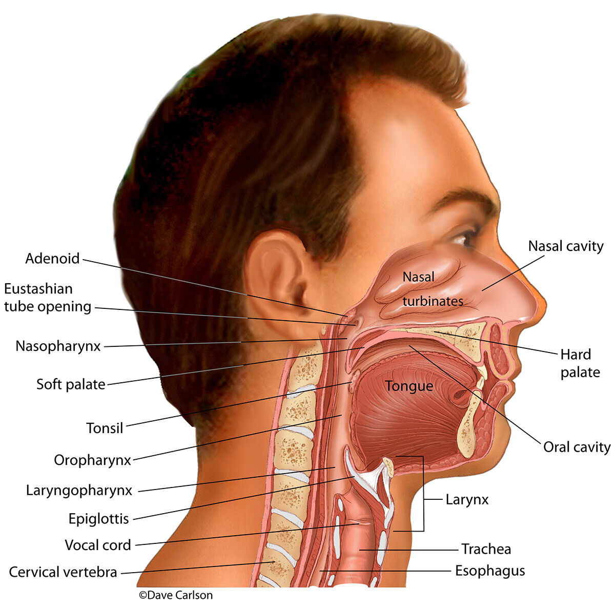 Illustration of the nasal, oral and related cavities and structures in the head and neck.