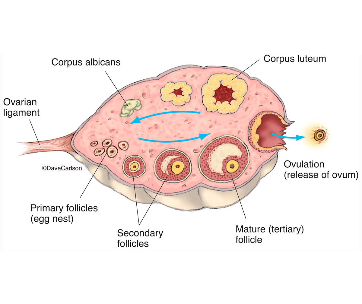 illustration, diagram, ovary, stages of ovulation, ovulation, photo