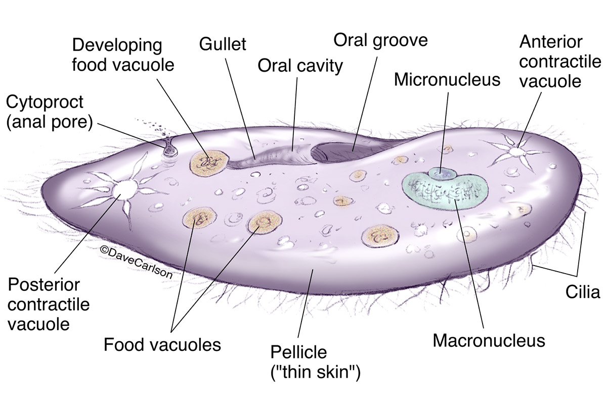 illustration, anatomy, structure, unicellular, paramecium, protozoan, photo