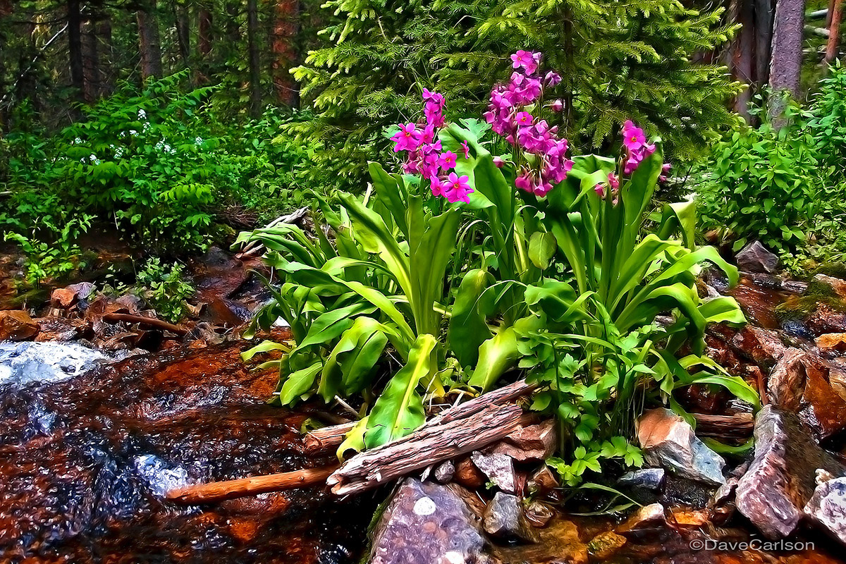 Parry Primrose, Primula parryi, wildflower, East Inlet Creek, Rocky Mountain National Park, photo