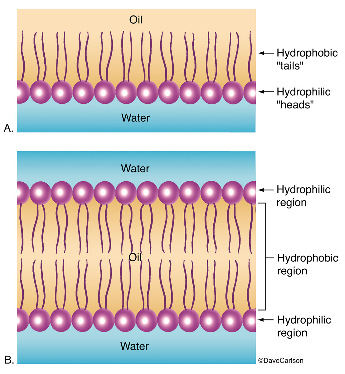 phospholipid, lipid bilayer surrounds all cells and forms the structure​ of the cell membrane, lipid, bilayer, cell membrane, photo