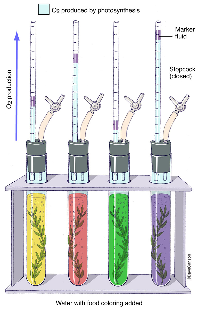 demonstration of the photosynthetic action spectrum, chlorophyll is most efficient at using red and violet spectrums of light to carry out​ photosynthesis, measurement, experiment, photo