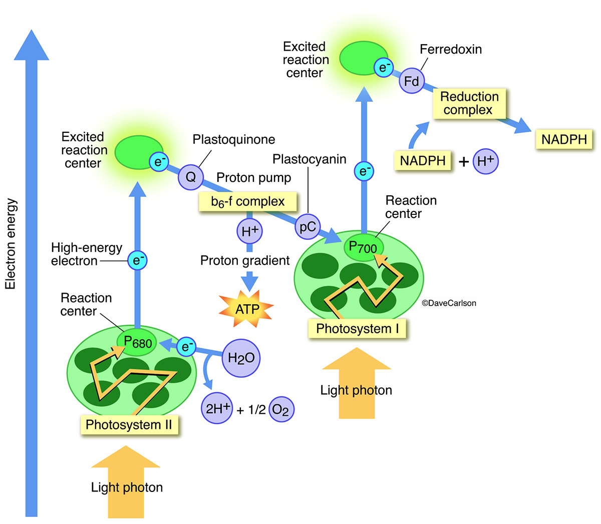 diagram photosynthetic process, photosynthesis, photo