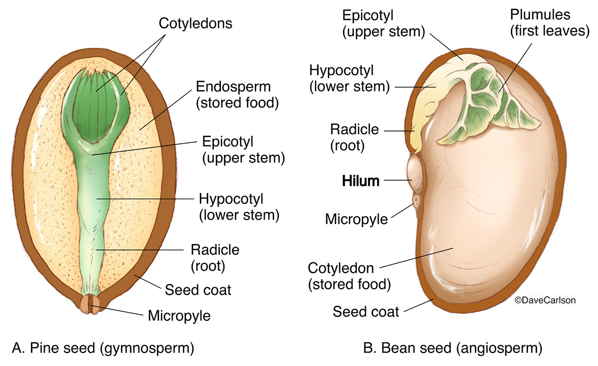 Diagram comparing gymnosperm (pine)  and angiosperm (bean) seed structure.