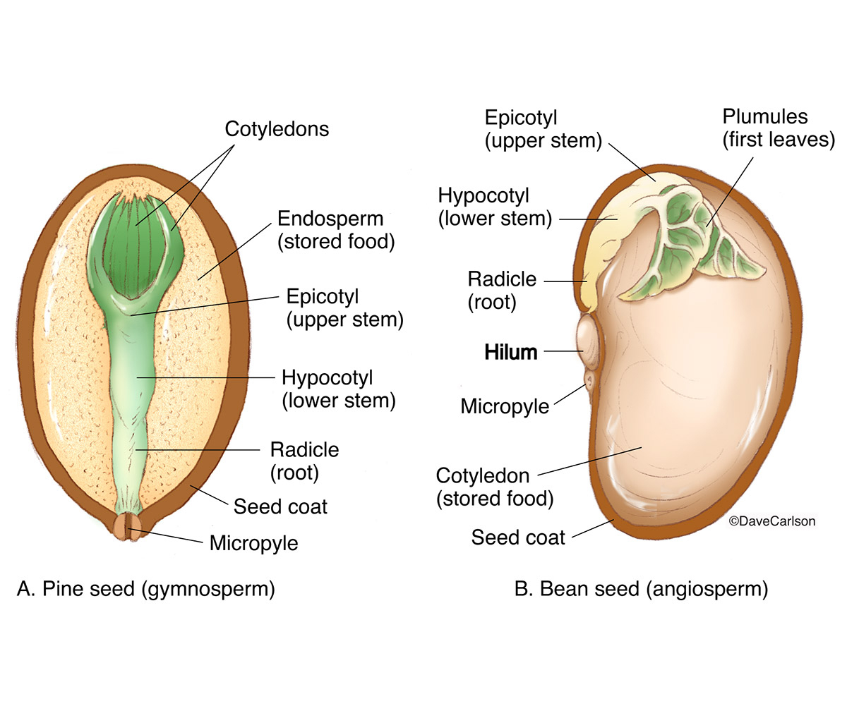 illustration, gymnosperm, pine, angiosperm, bean, seed structure, diagram, photo