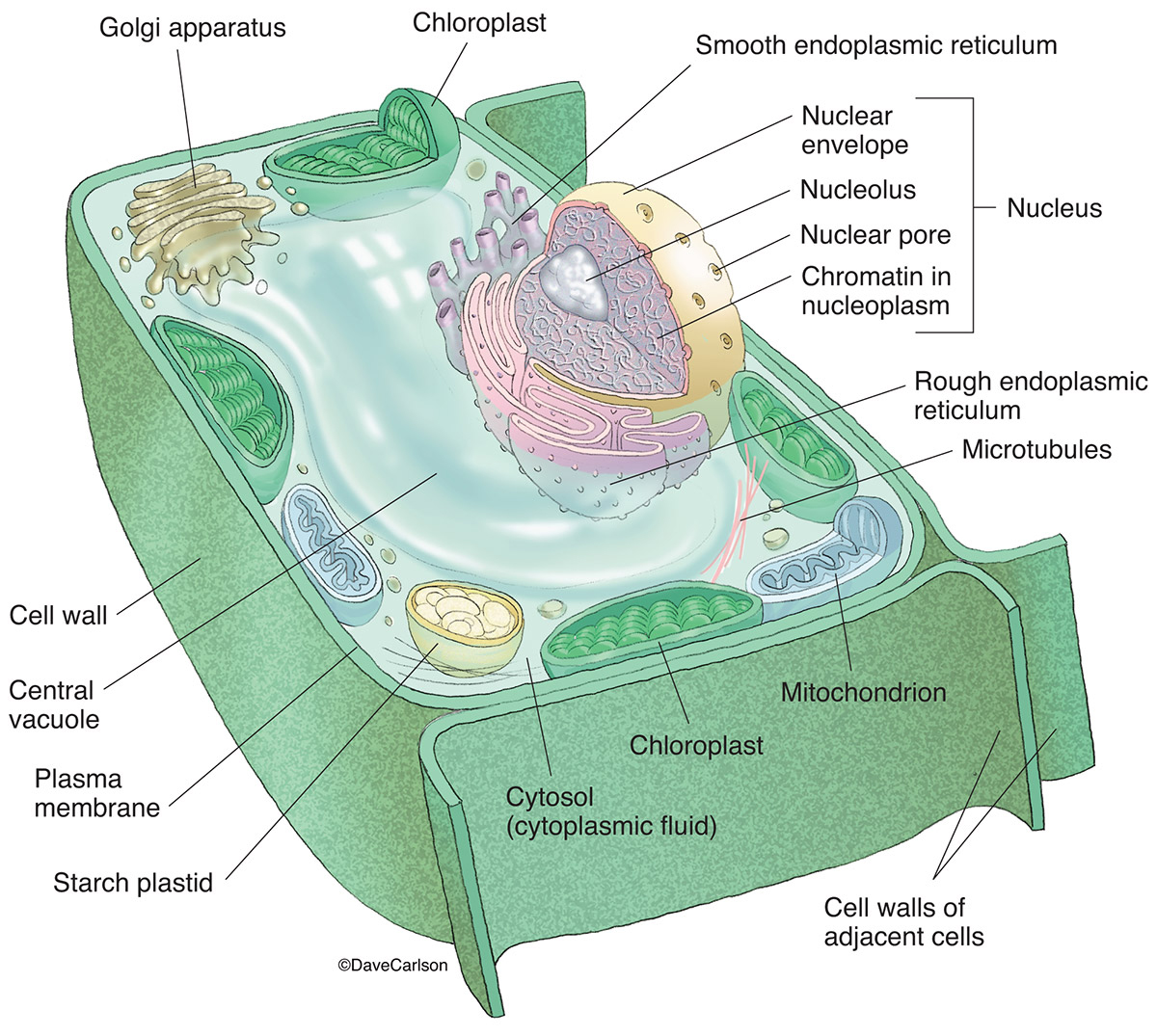 Anatomy cell structure images human body anatomy diagram geoface c4fb2ae5578e plant cell structure carlson stock art ccuart Choice Image