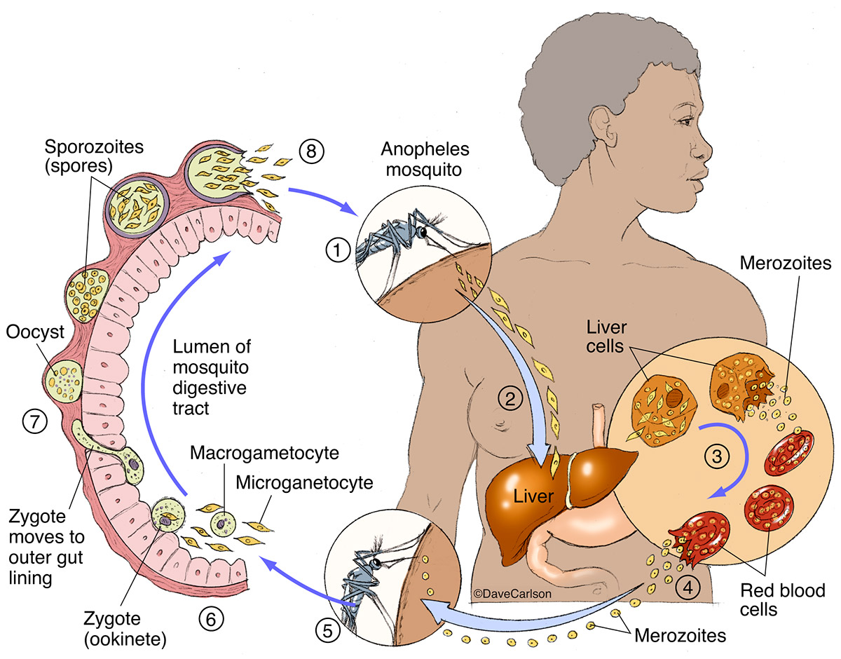 plasmodium, parasite, labeled, illustration, malaria, life cycle, photo