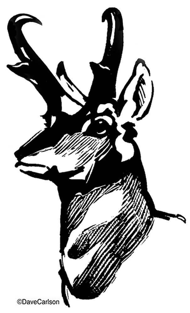 B&W, ink, illustration, drawing, pronghorn antelope head, photo