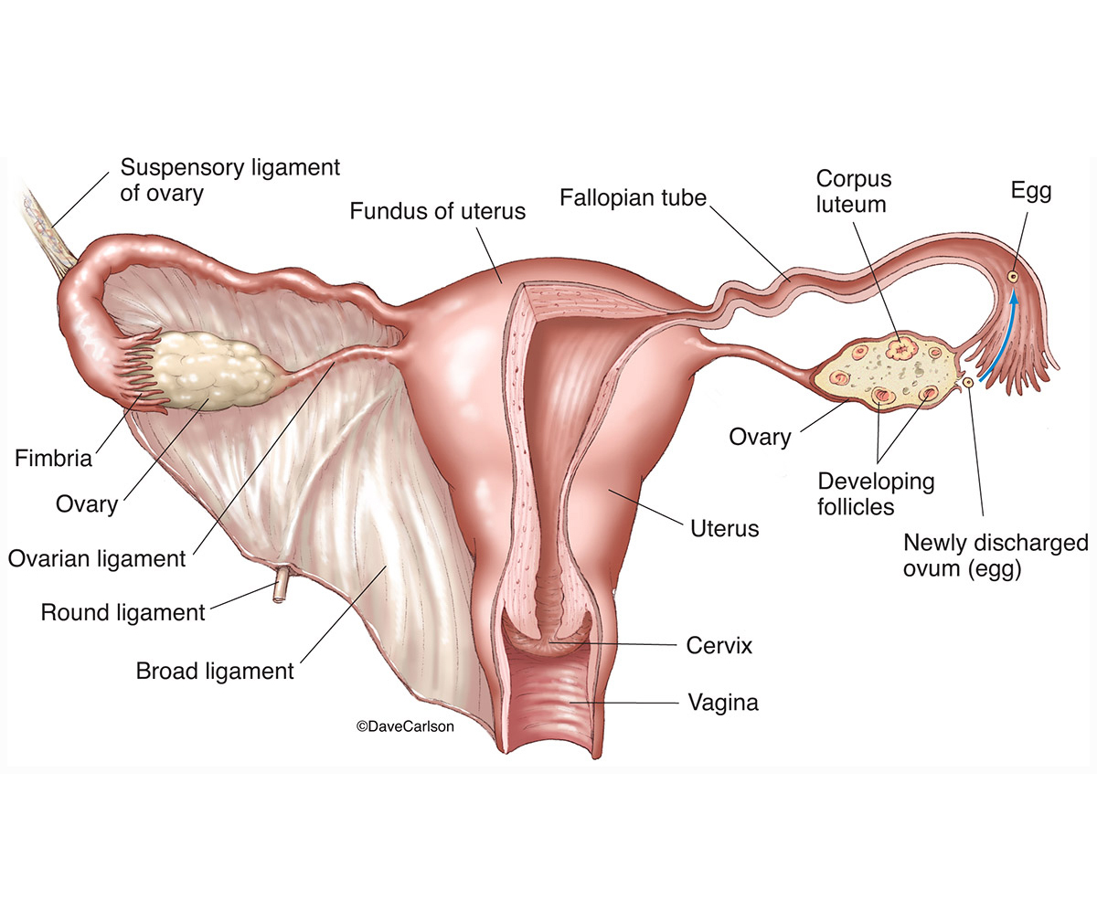 illustration, female reproductive system, vagina, uterus, fallopian tubes, ovaries, ovary, related structures, photo