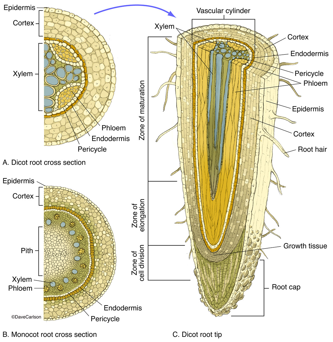 illustration, cross and longitudinal sections, monocot roots, dicot roots, root structure, photo