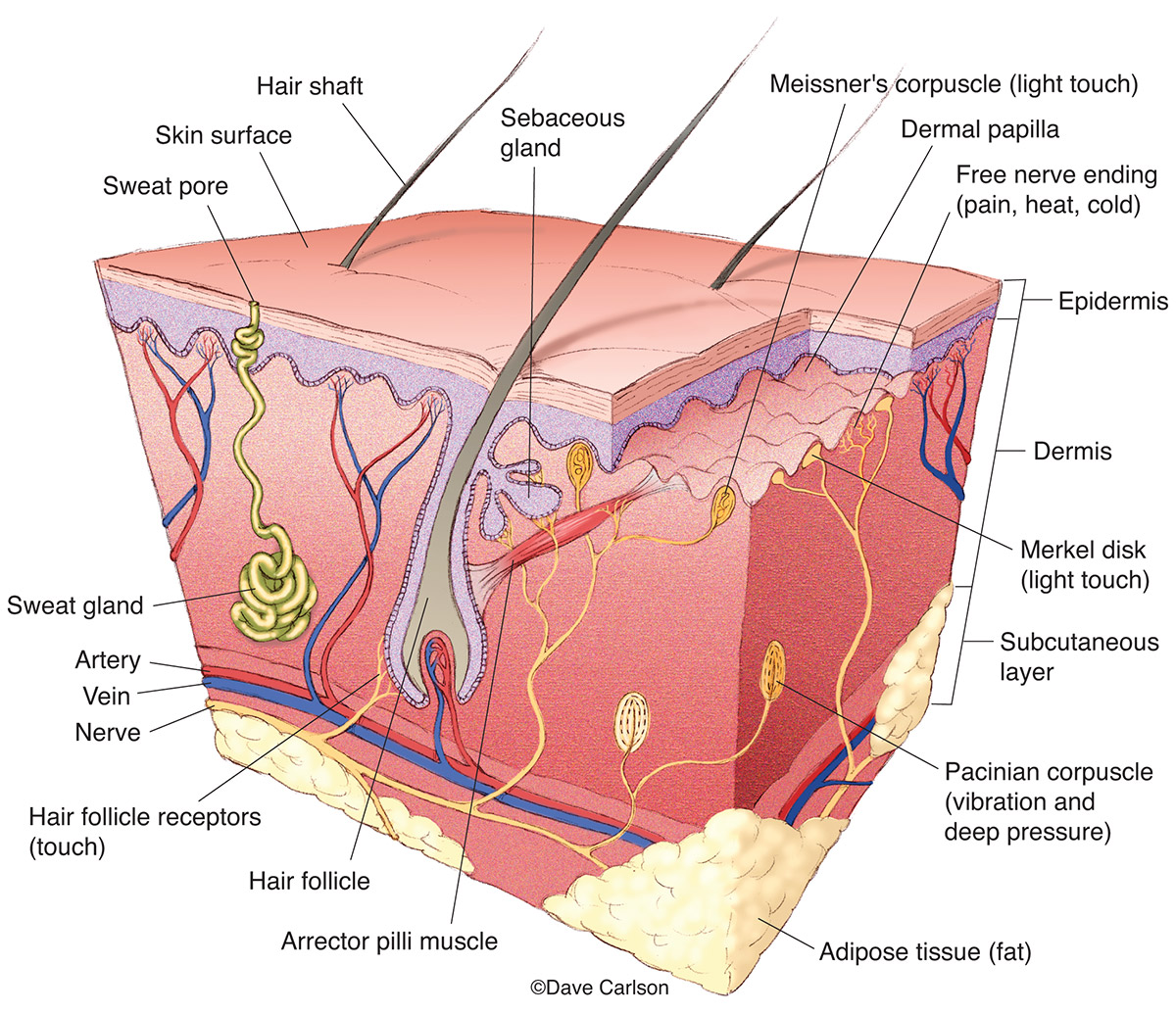 Illustration of the structure of skin, including nerve receptors for touch, pressure, heat, cold, etc.