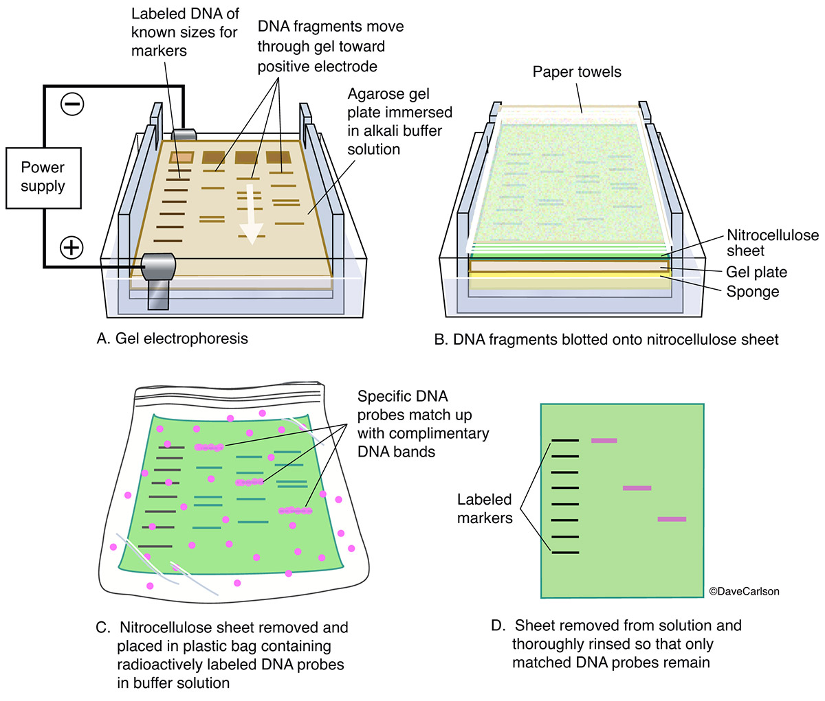 diagram​, gel electrophoresis procedure, reveals information about DNA identity size and quantity, dna sequence, dna sample, photo