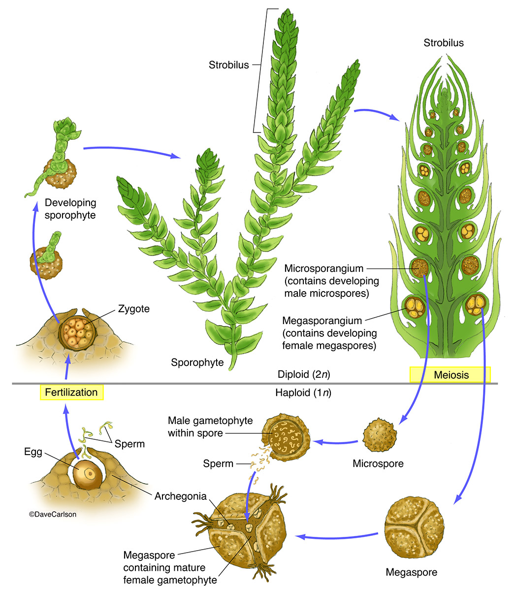 illustration, life cycle, Selaginella, genus of lycophytes, spike mosses, photo
