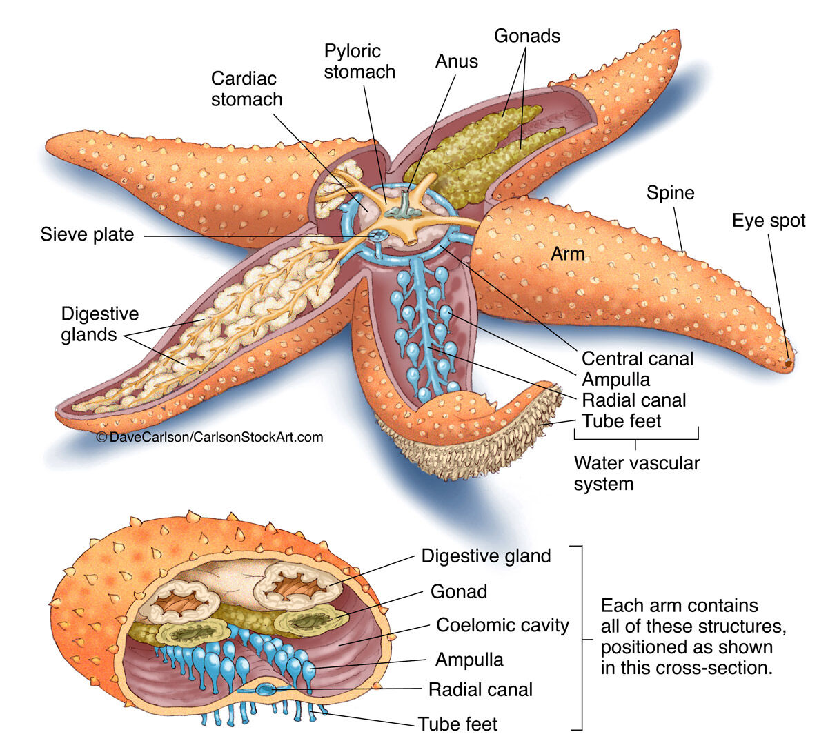 Starfish (Sea Star) Anatomy | | Carlson Stock Art